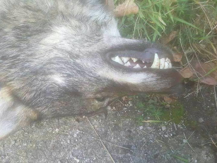 Anadel En Defensa De Los Derechos De Todos Los Animales Lobo Ibérico